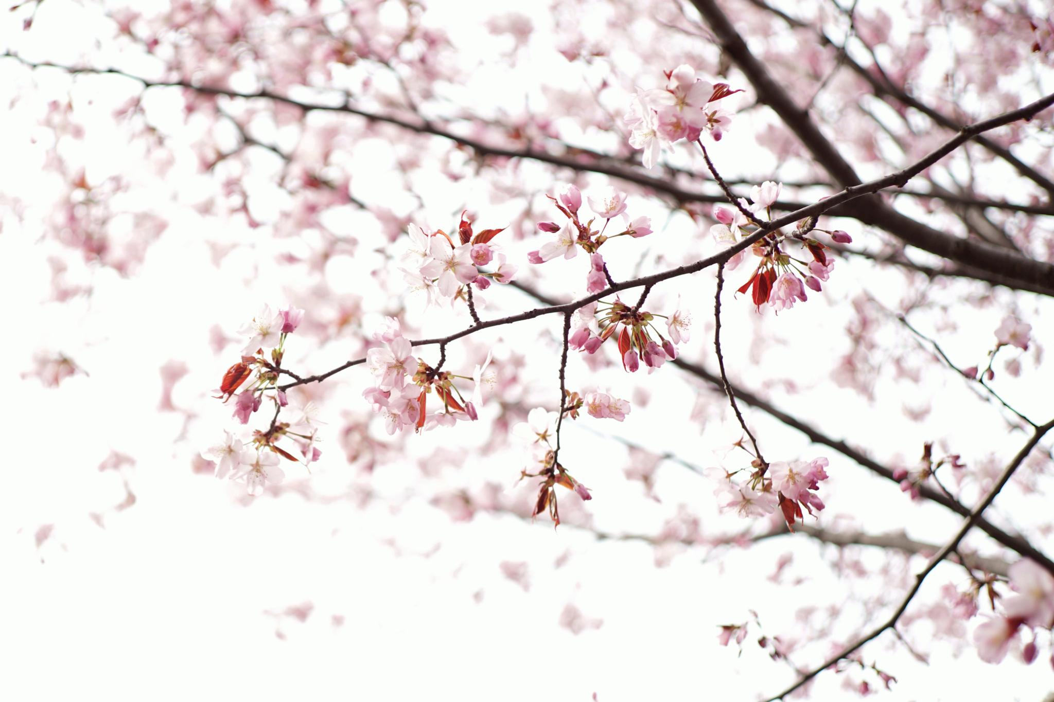 4月28日 円山公園
